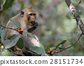 monkey eat food on tree in thailand 28151734