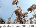 tokyo, nippon, cherry blossom 28153903