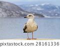 Seagull  perching on cruise ship in hokkaido 28161336