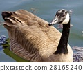 Beautiful isolated photo of a Canada goose in lake 28165240