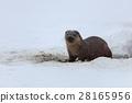 european otter (lutra lutra) 28165956