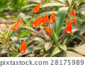 Red flower pitcher plants 28175989