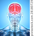 Human Internal Organic - Brain. 28180729
