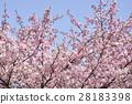 河津樱 樱花 樱桃树 28183398