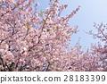 河津樱 樱花 樱桃树 28183399