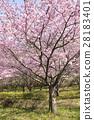 河津樱 樱花 樱桃树 28183401