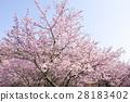 河津樱 樱花 樱桃树 28183402