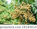 Tropical fruits beautiful longan in Lamphun 28184610