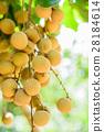 Tropical fruits beautiful longan in Lamphun 28184614