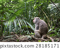 Formosan macaque in jungle, Taiwan endemic species 28185171