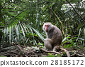 Formosan macaque in jungle, Taiwan endemic species 28185172