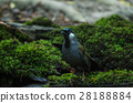 Bird Beautiful black-throated laughingthrush 28188884