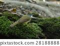 Ochraceous Bulbul bird (Alophoixus ochraceus) 28188888