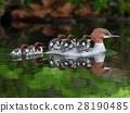 池塘 鹹水湖 雞 28190485