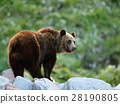 brown, bear, rocky 28190805