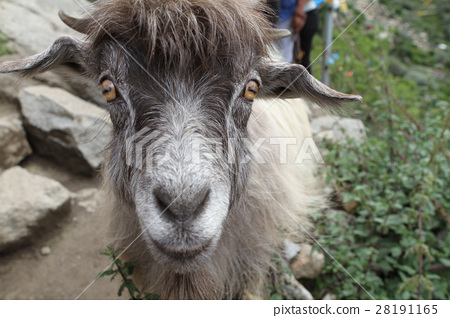 Ordinary goat 28191165
