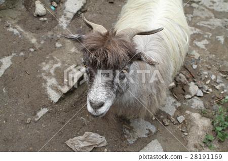 Ordinary goat 28191169