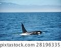killer, whale, shiretoko 28196335