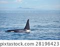killer, whale, shiretoko 28196423