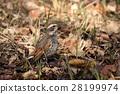 生物鳥類鵝口瘡,落葉上令人驚嘆的保護色。食物低時,食慾似乎優於謹慎 28199974