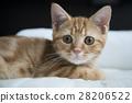 cat, pussy, kitty 28206522