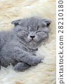 Kitten on white blanket 28210180