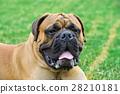 English Mastiff dog 28210181
