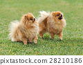 Brown pomeranian dog 28210186