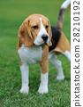 Close Beagle dog 28210192