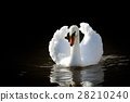Swan in the lake 28210240