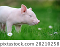Young pig on grass 28210258
