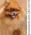 Close-up pomeranian dog 28210259