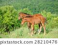Horse 28210476