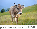 Cow in nature 28210506