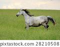 Horse 28210508