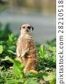 Meerkat 28210518