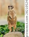 Meerkat 28210524