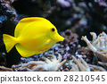 Tropical yellow tang on a coral reef 28210545