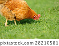 chicken, farm, grass 28210581