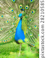 Beautiful indian peacock with fully fanned tail 28210585