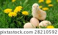 Little chicken 28210592