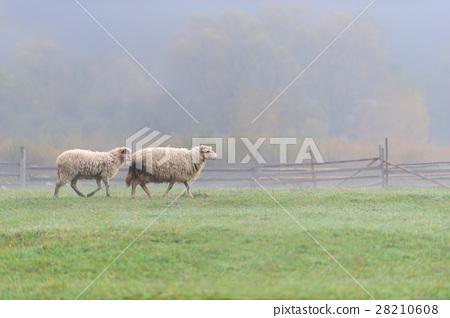 Sheep 28210608