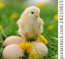 Little chicken 28210615