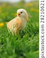 Little chicken on the grass 28210621