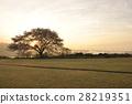 만개 한 벚꽃에 아침 놀 28219351