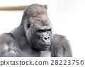大猩猩 西部低地大猩猩 哺乳動物 28223756