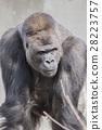 大猩猩 西部低地大猩猩 哺乳動物 28223757