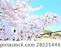 yoshino cherry tree, cherry blossom, cherry tree 28225444