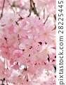 yoshino cherry tree, cherry blossom, cherry tree 28225445