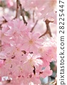 yoshino cherry tree, cherry blossom, cherry tree 28225447
